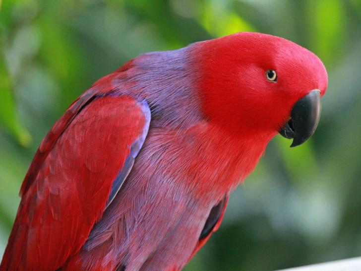 Birds , 7 Nice Eclectus Parrot : Eclectus Parrot RWD