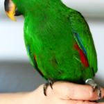 Eclectus Parrot backgrounds , 7 Charming Eclectus Parrot In Birds Category