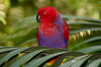 Eclectus Parrot wallpaper in Spider