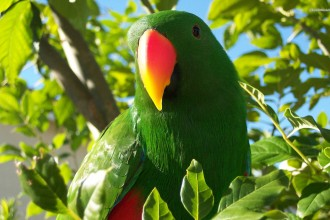 Eclectus Parrot Wallpaper , 8 Fabulous Eclectus Parrots In Birds Category