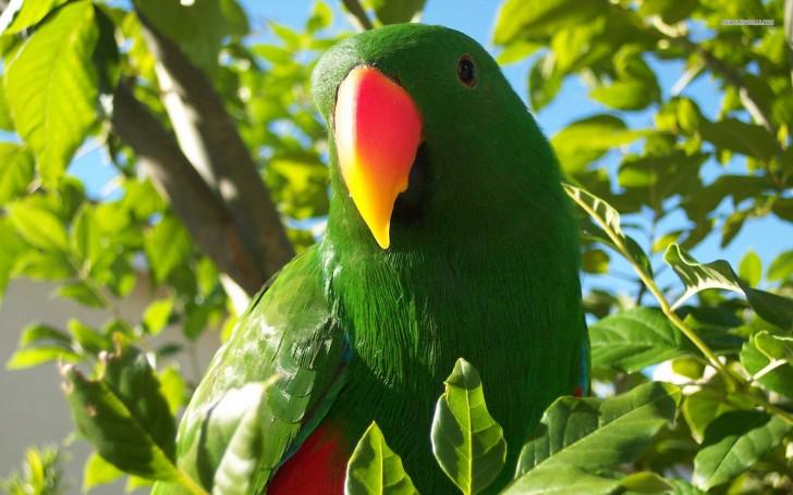 Birds , 8 Fabulous Eclectus Parrots : Eclectus Parrot Wallpaper
