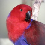 Eclectus Parrot , 7 Nice Eclectus Parrot In Birds Category