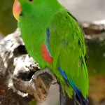 Eclectus Parrot , 8 Fabulous Eclectus Parrots In Birds Category