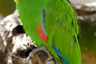 Eclectus Parrot in Dog