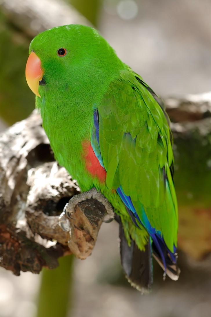 Birds , 8 Fabulous Eclectus Parrots : Eclectus Parrot