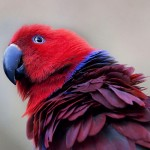 Eclectus Parrots , 7 Nice Eclectus Parrot In Birds Category