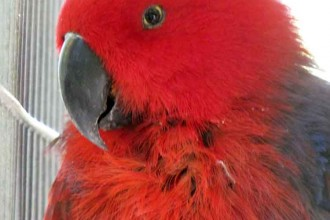 Eclectus Parrot Female , 8 Nice Eclectus Parrot In Birds Category