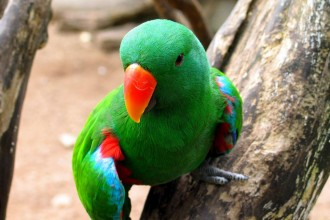 Eclectus Roratus , 8 Nice Eclectus Parrot In Birds Category
