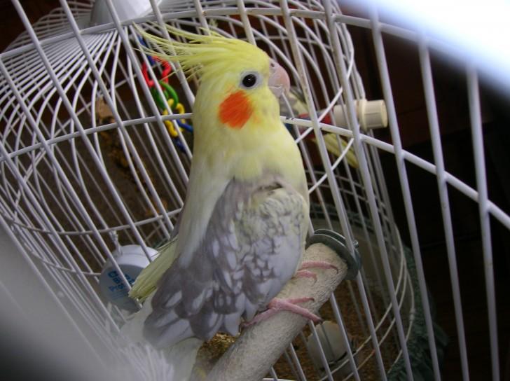 Birds , 8 Beautiful  Pied Cockatiel : Female Pied Pearl Cockatiel