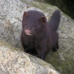 Fisher Cat , 7 Top Fisher Cat Pictures In Cat Category