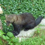 Fisher Cat Eating , 7 Top Fisher Cat Pictures In Cat Category