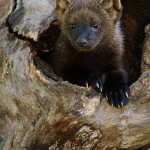 Fisher Cat Images , 7 Top Fisher Cat Pictures In Cat Category