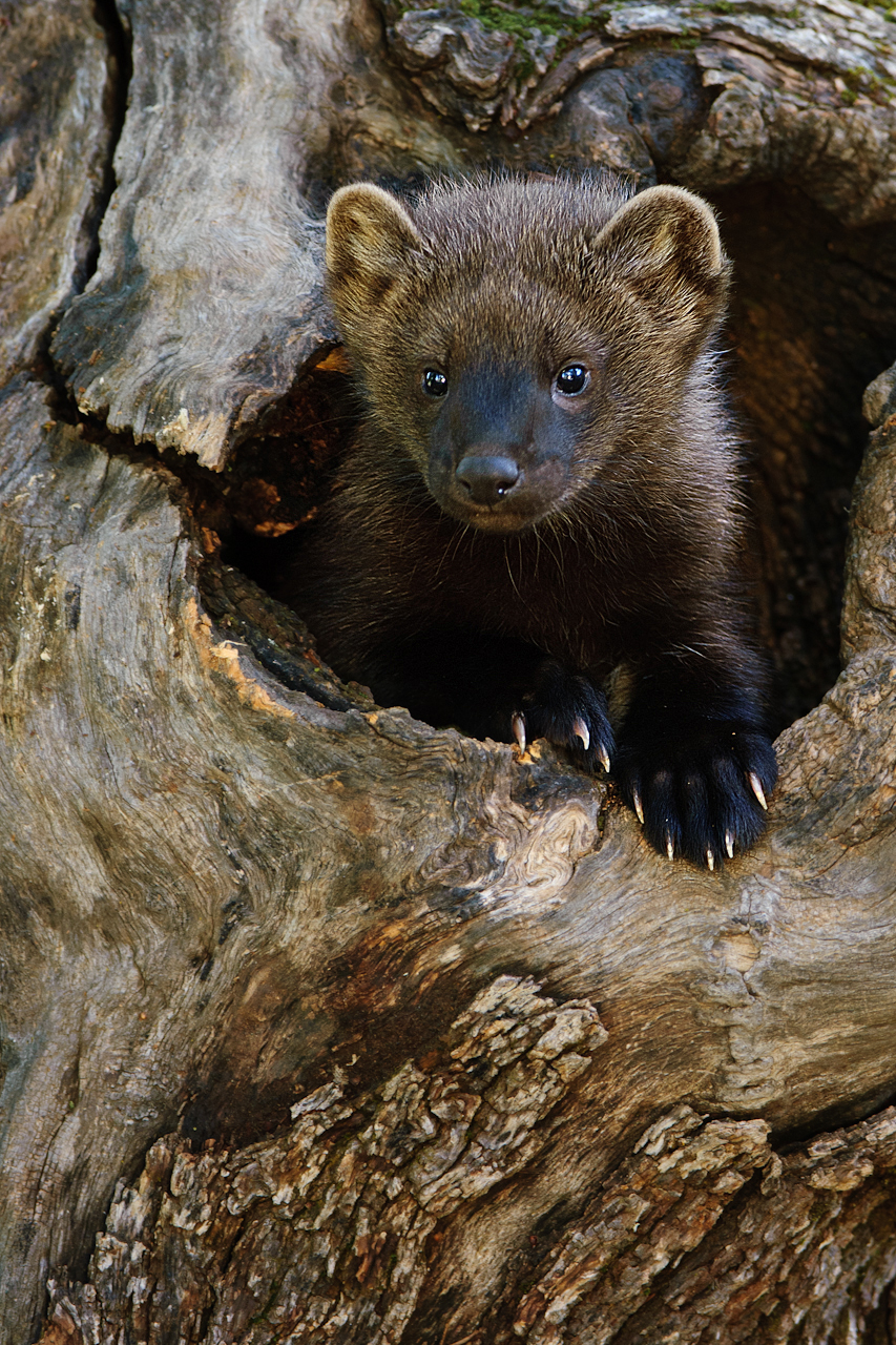 Fisher Cat Images : 7 Top Fisher Cat Pictures | Biological Science Picture Directory - Pulpbits.net