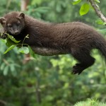 Fisher Cat Images , 6 Gorgeous Pictures Of Fisher Cats In Cat Category