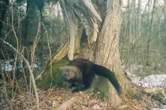 Fisher Cats in Environment