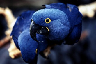 Glaucous Macaw Bird , 7 Lovely Glaucous Macaw In Birds Category