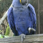 Glaucous Macaw , 7 Lovely Glaucous Macaw In Birds Category