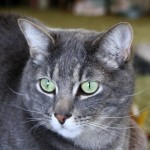 Gray Tabby Cat , 6 Wonderful Tabby Cat Pictures In Cat Category