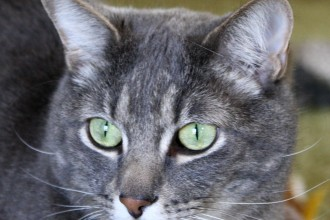 Gray Tabby Cat , 6 Cute Pictures Of Tabby Cats In Cat Category