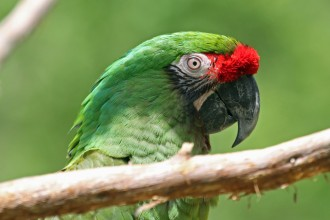 Great Green Macaw RWD , 8 Nice Great Green Macaw In Birds Category