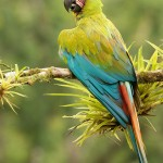 Great Macaw , 8 Nice Great Green Macaw In Birds Category