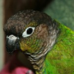 Green Cheek Conure , 7 Beautiful Green Cheeked Parrot In Birds Category
