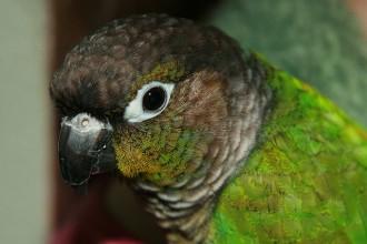 Green Cheek Conure , 7 Beautiful Green Cheeked Parrot In Birds Category