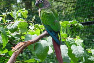 Green Cheeked Conure Parrot , 7 Beautiful Green Cheeked Parrot In Birds Category