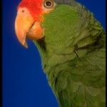 Green Cheeked Parrot , 7 Beautiful Green Cheeked Parrot In Birds Category