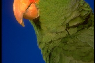 Green Cheeked Parrot in Brain