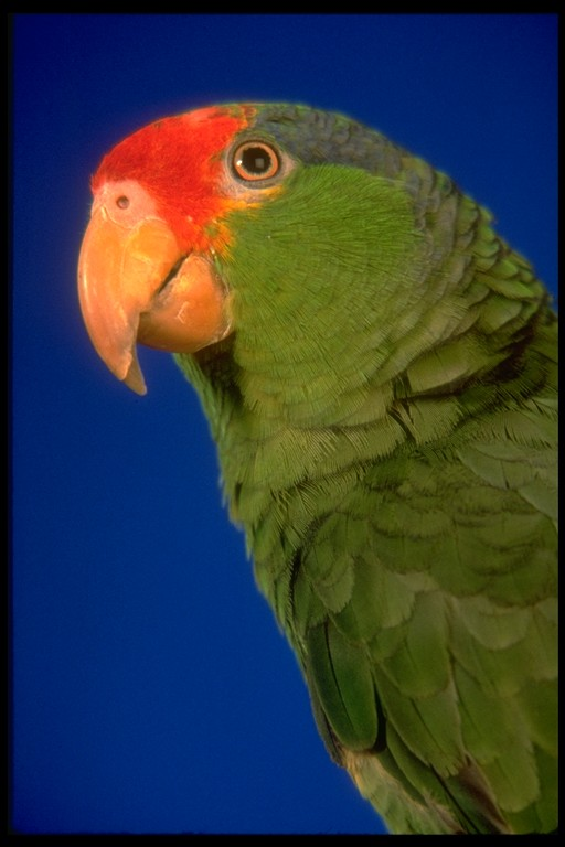 Birds , 7 Beautiful Green Cheeked Parrot : Green Cheeked Parrot