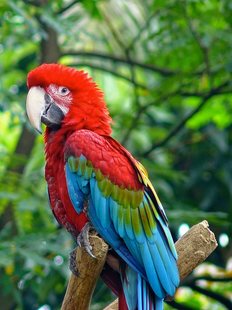 Birds , 7 Beautiful Green Winged Macaw : Green Macaw