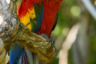 Green Macaw , 8 Charming Green Wing Macaw In Birds Category