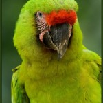 Green Macaw , 8 Nice Great Green Macaw In Birds Category