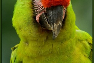 Green Macaw in Dog