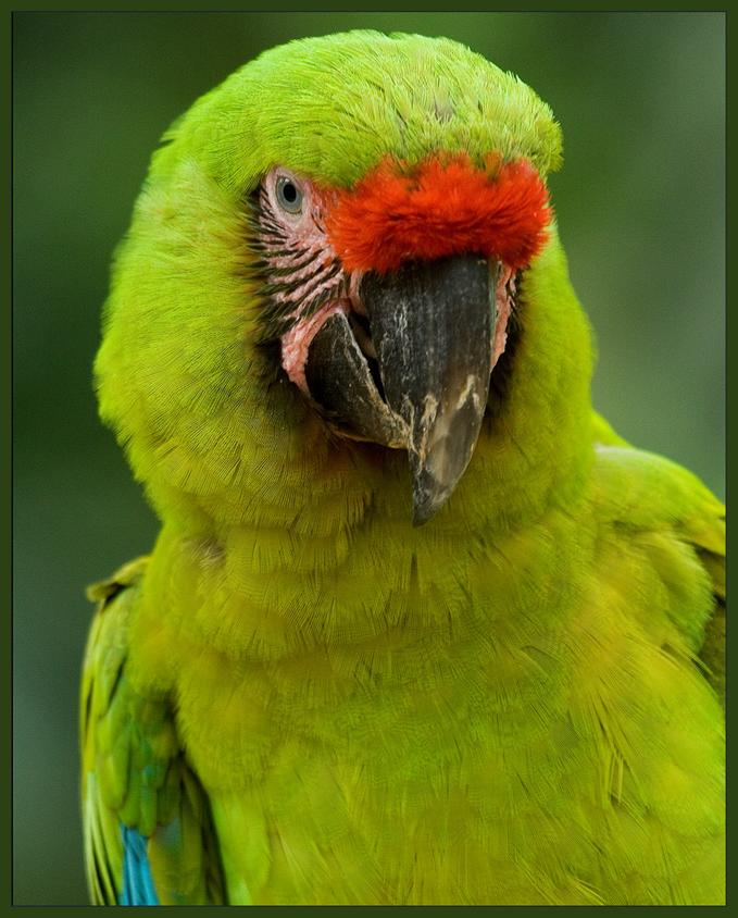 Birds , 8 Nice Great Green Macaw : Green Macaw