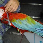 Green Macaw , 8 Cool Green Wing Macaw In Birds Category