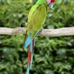 Green Macaw , 9 Beautiful Green Wing Macaw In Birds Category