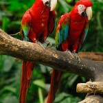 Green Wing Macaw , 8 Cool Green Wing Macaw In Birds Category