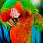 Green Wing Macaw , 9 Beautiful Green Wing Macaw In Birds Category