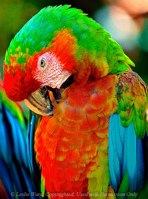 Birds , 9 Beautiful Green Wing Macaw : Green Wing Macaw