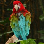 Green Winged Macaw , 9 Beautiful Green Wing Macaw In Birds Category