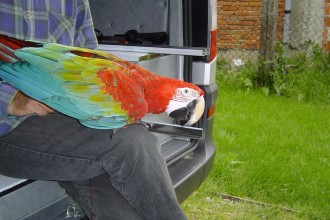 Green Winged Macaw Pictures , 8 Charming Green Wing Macaw In Birds Category
