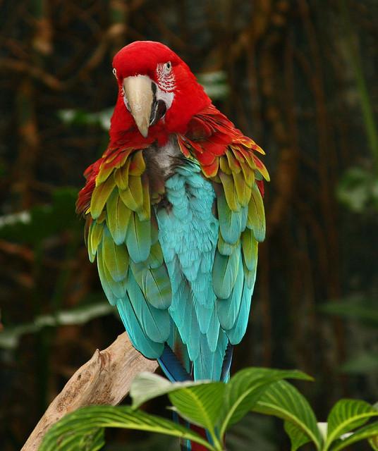 Birds , 9 Beautiful Green Wing Macaw : Green Winged Macaw