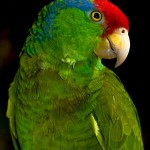 Green cheeked Amazon Parrot , 7 Beautiful Green Cheeked Parrot In Birds Category