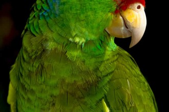 Green cheeked Amazon Parrot in Dog