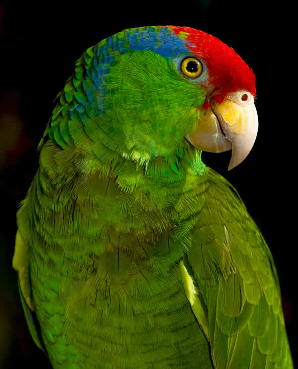 Green cheeked Amazon Parrot