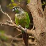 Green cheeked conure , 7 Beautiful Green Cheeked Parrot In Birds Category