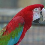 Green winged Macaw , 7 Beautiful Green Winged Macaw In Birds Category