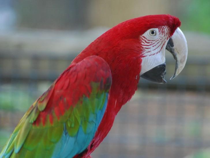 Birds , 7 Beautiful Green Winged Macaw : Green Winged Macaw